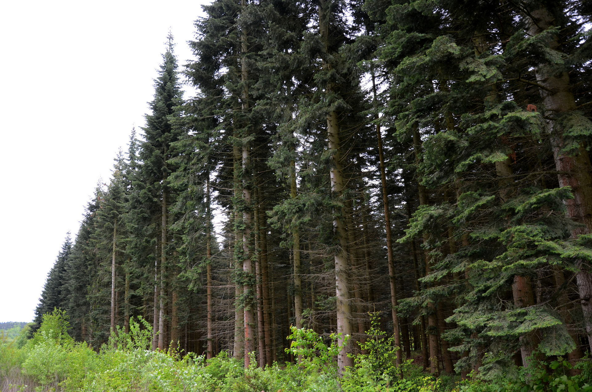 Vor rund 30 Jahren wurde daher dieses Waldstück mit der Küstentanne bepflanzt.