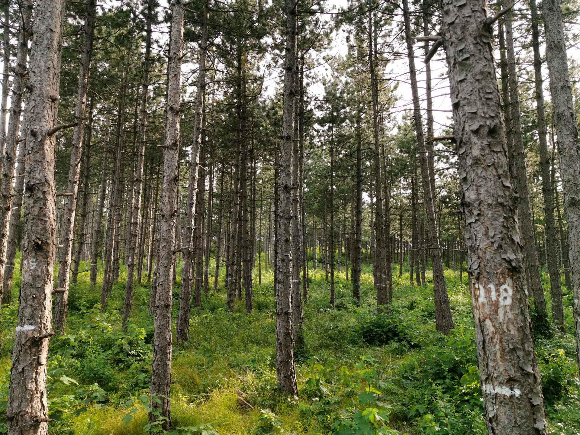 Variante A - Stammzahlreduktion auf 1.500 Bäume/ha.