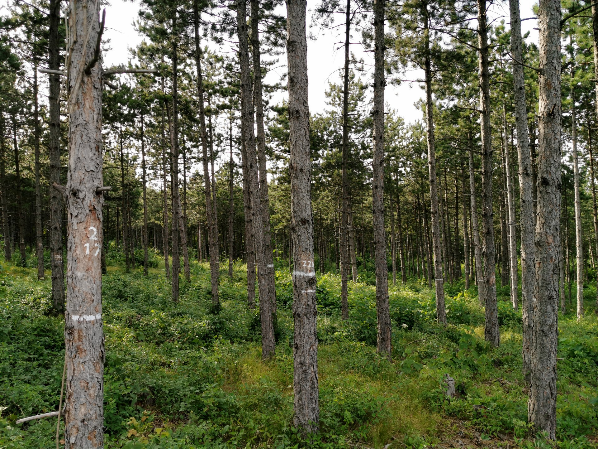 Variante B - Stammzahlreduktion auf 975 Bäume/ha.