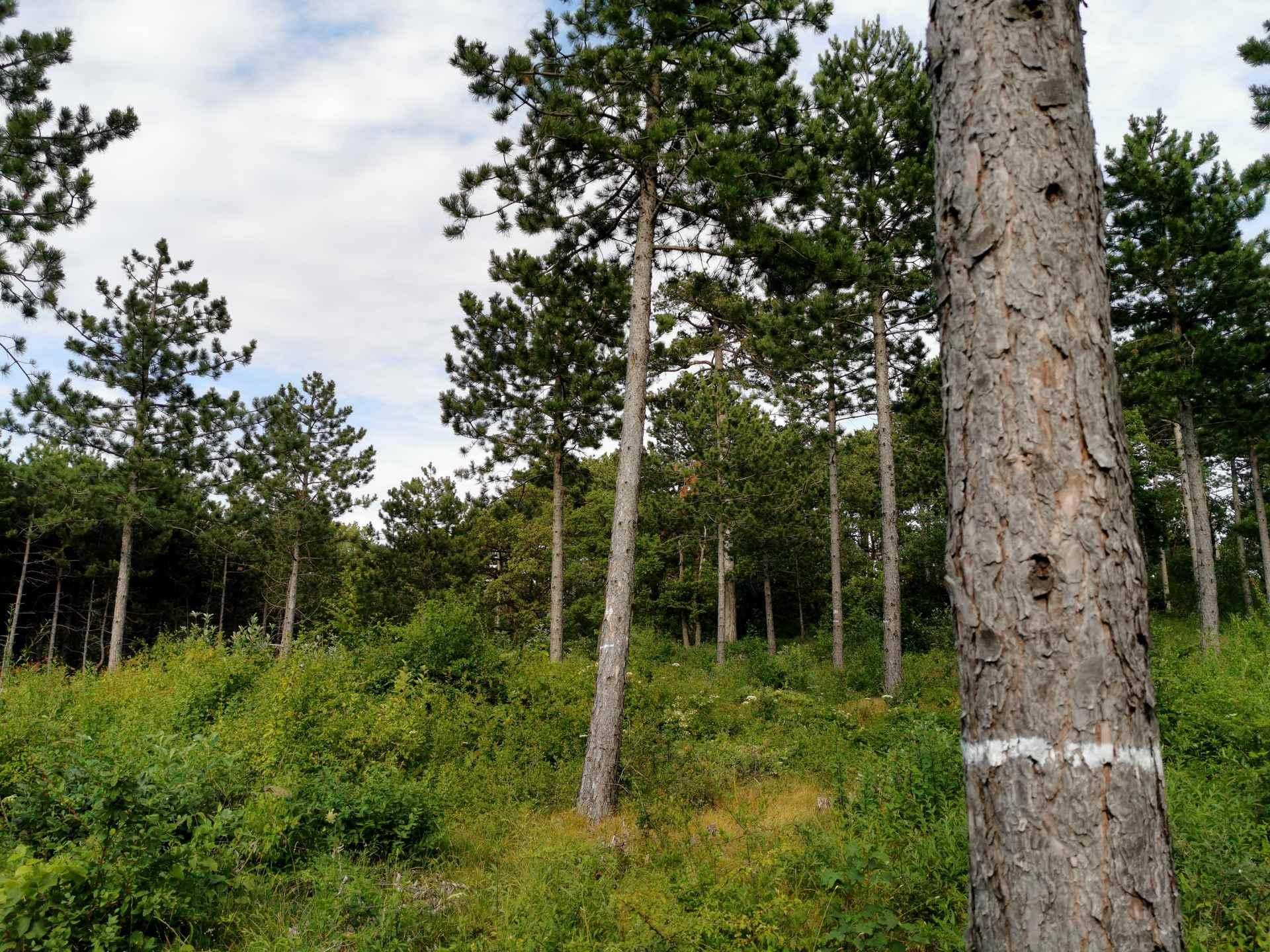 Variante C - Aushieb aller Bäume bis auf die Z-Bäume