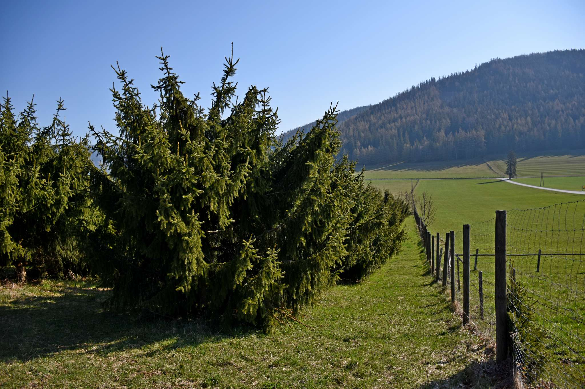 Um die Zapfen besser erreichen zu können, werden die Bäume niedrig gehalten.