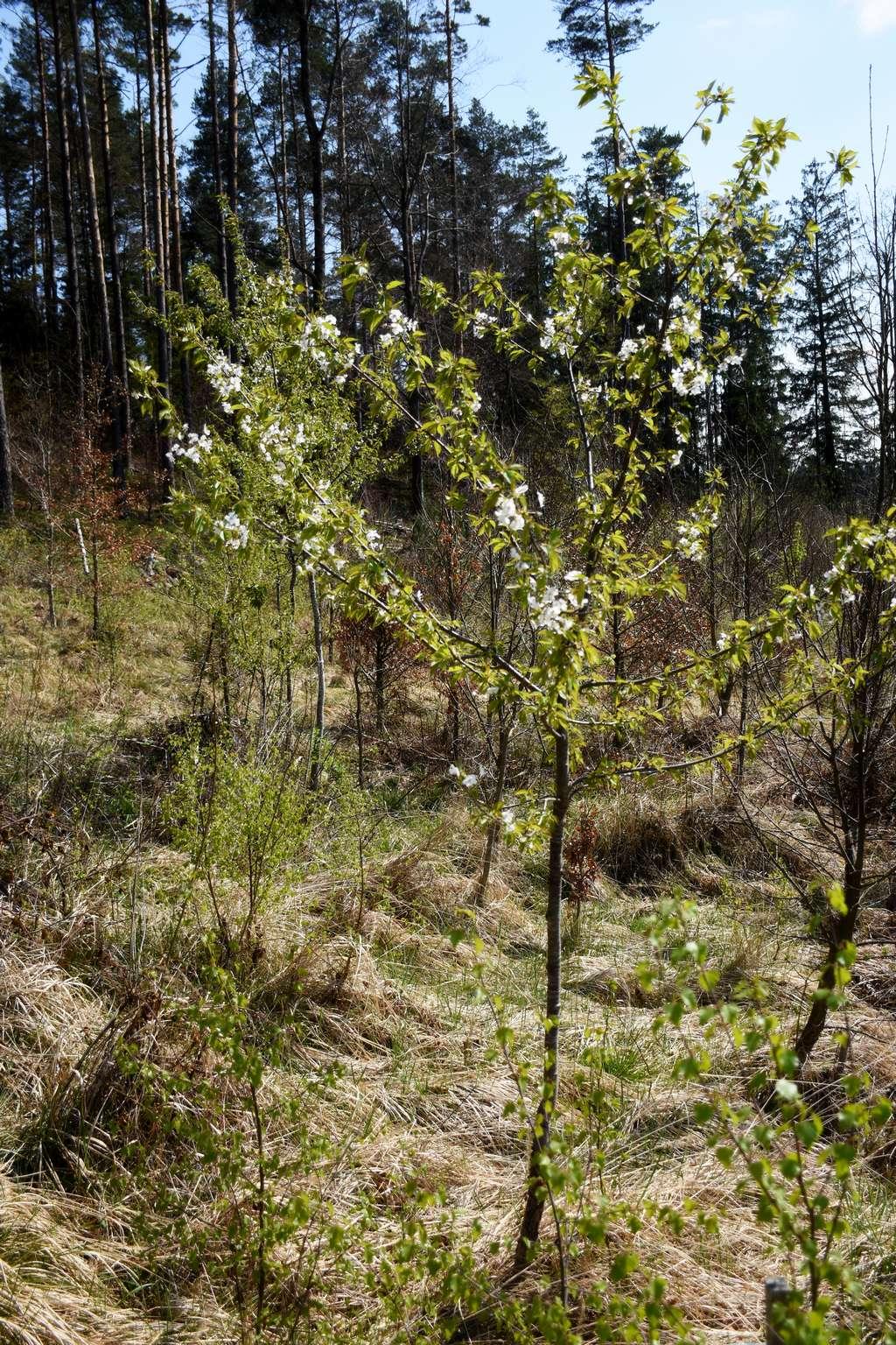 Die mit eingebrachten Baumarten kompensieren eventuelle Ausfälle bei den Kirschen.
