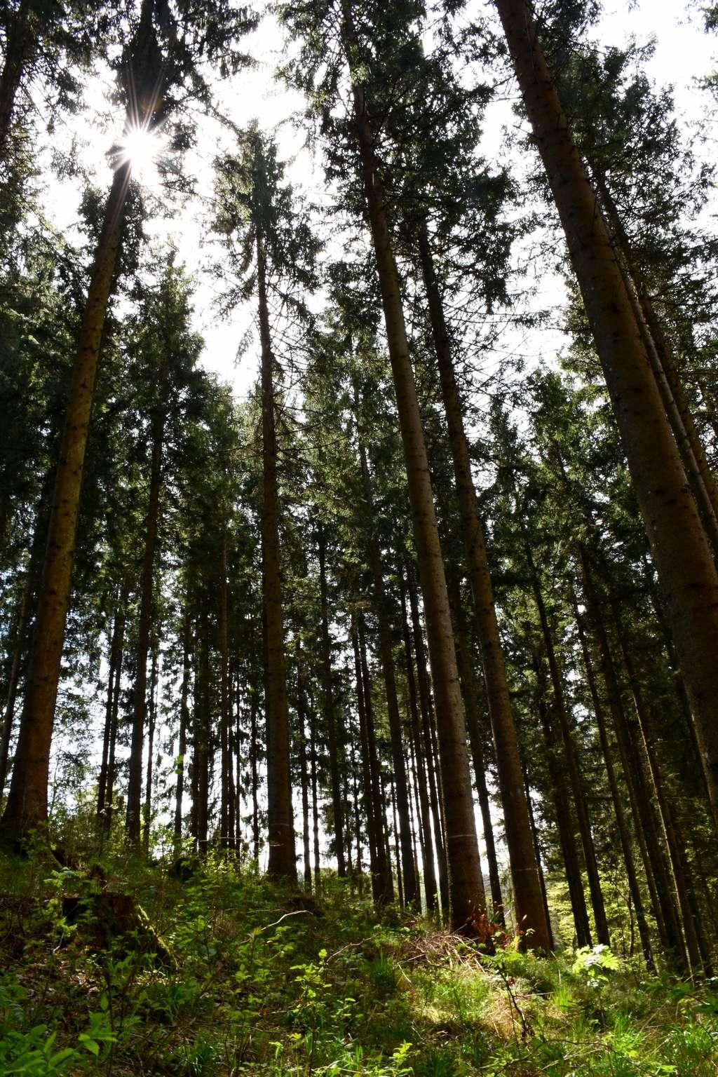 Im durchforsteten Bestand wachsen stabilere Bäume.