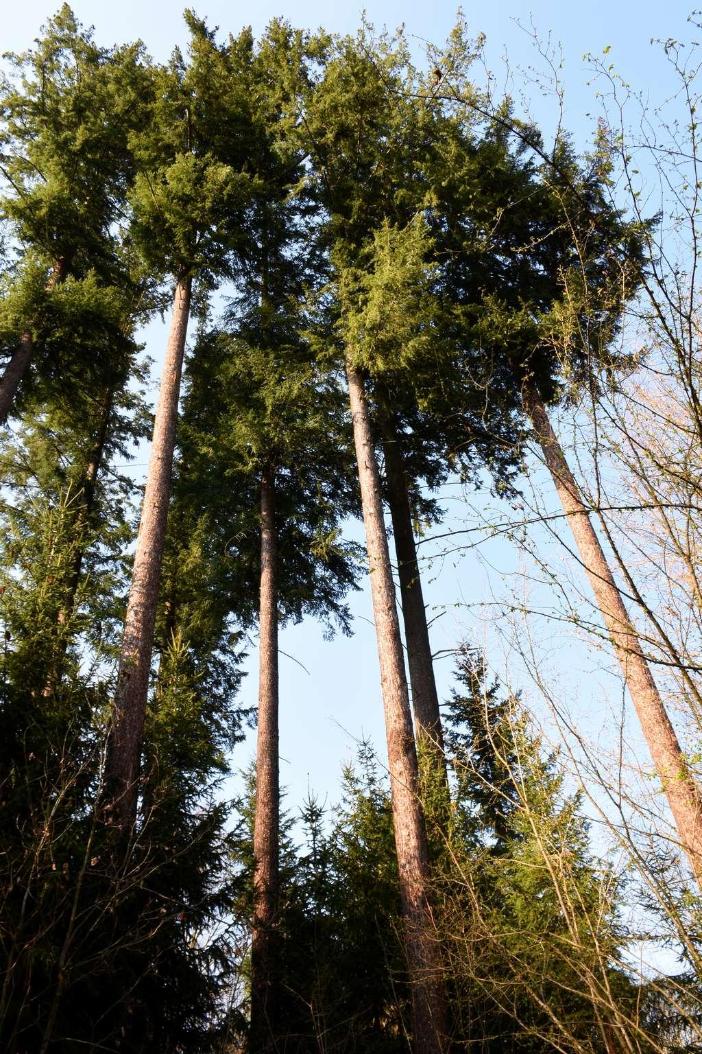 Die Douglasien sind etwa 45 Meter hoch.