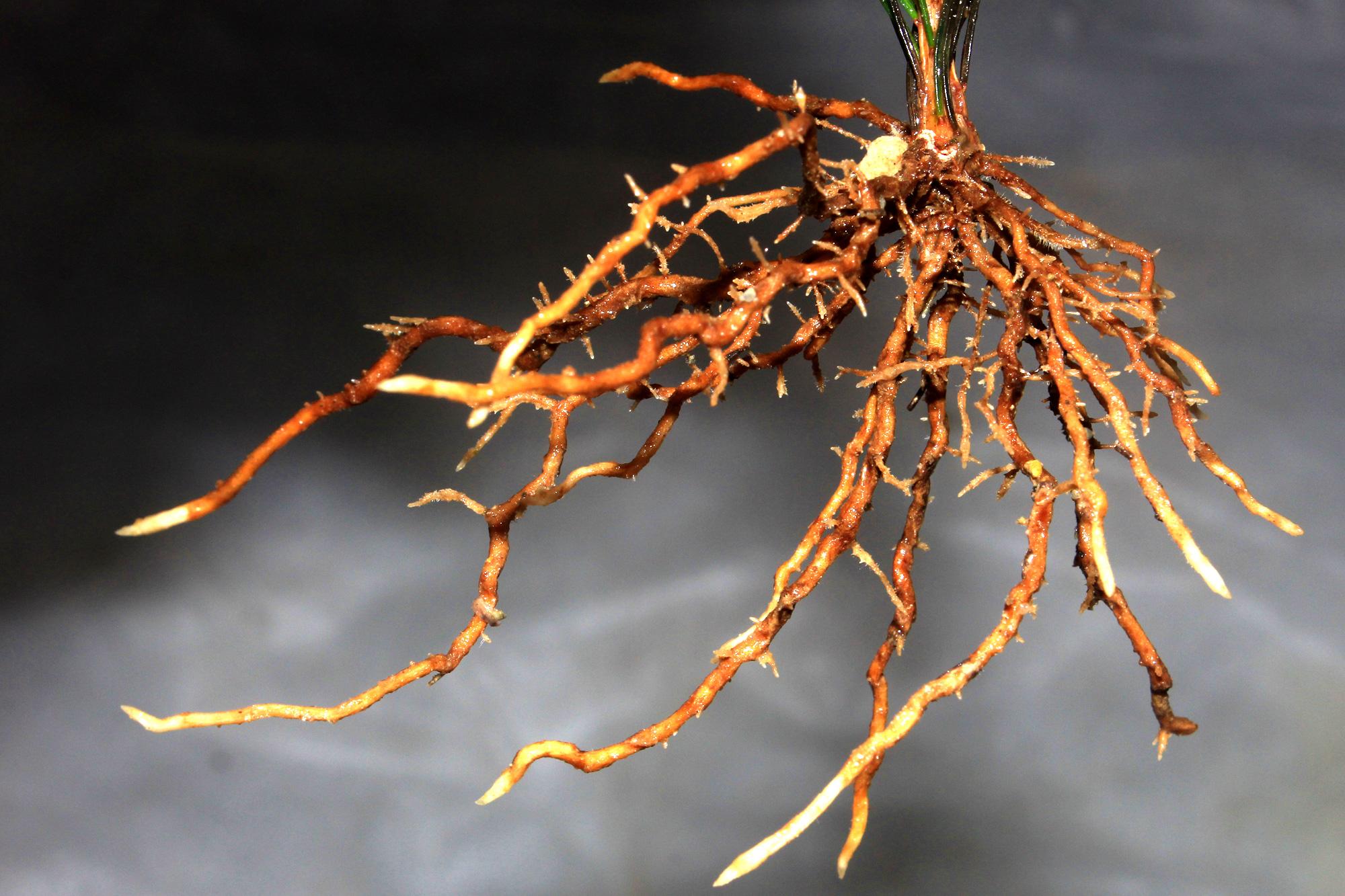 Da es bei der vegetativen Vermehrung keine geschlechtliche Fortpflanzung gibt, sind Stecklinge genetisch idente Nachkommen ihrer Mutterpflanze.