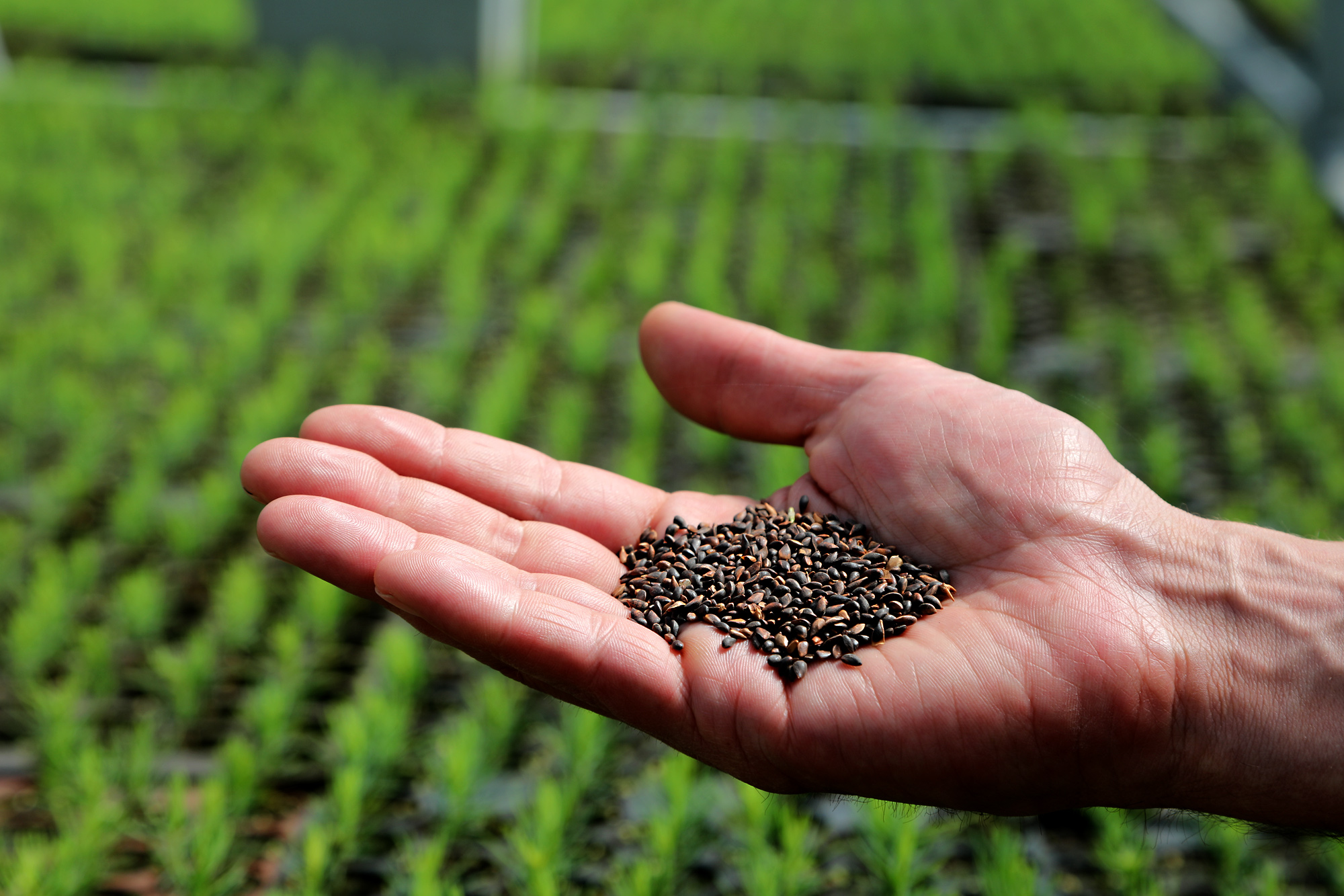 Das Saatgut ist eine wichtige Grundlage für die Produktion von hochwertigen Forst-Containerpflanzen.