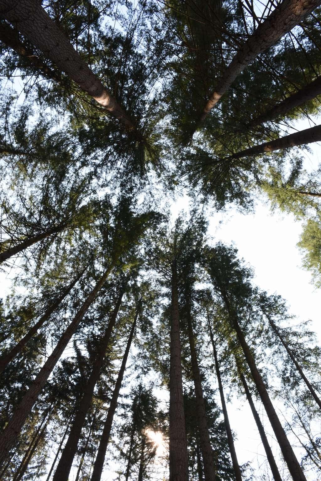 Die Douglasien im Hofwald sind bis zu 52 Meter hoch.